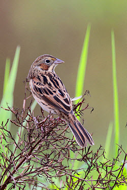 Chestnut-eared Bunting (Emberiza fucata) adult male, non-breeding plumage, perched in brush, Long Valley, New Territories, Hong Kong, China, December  -  John Holmes/ FLPA