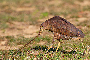Japanese Night-heron (Gorsachius goisagi) immature male, first winter plumage, feeding, pulling earthworm from ground in abandoned paddyfield, Hong Kong, China, December  -  John Holmes/ FLPA