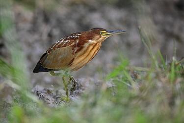 Von Schrenck's Bittern (Ixobrychus eurhythmus) immature male, first winter plumage, walking on mud, Long Valley, New Territories, Hong Kong, China, November  -  John Holmes/ FLPA