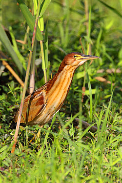 Von Schrenck's Bittern (Ixobrychus eurhythmus) immature male, first winter plumage, emerging from reedbed, Long Valley, New Territories, Hong Kong, China, November  -  John Holmes/ FLPA