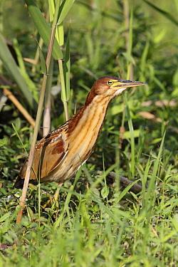 Von Schrenck's Bittern (Ixobrychus eurhythmus) immature male, first winter plumage, emerging from reedbed, Long Valley, New Territories, Hong Kong, China, November  -  John Holmes/ FLPA