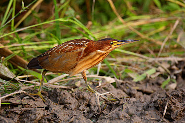 Von Schrenck's Bittern (Ixobrychus eurhythmus) immature male, first winter plumage, walking on mud, Long Valley, New Territories, Hong Kong, China, November  -  John Holmes/ FLPA