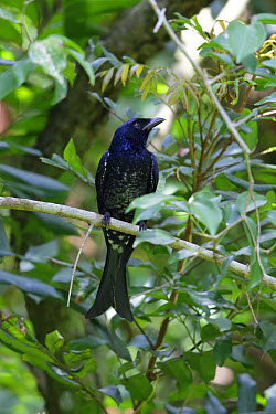 Crow-billed Drongo (Dicrurus annectans) immature, first winter plumage, perched on twig, Po Toi Island, Hong Kong, China, September  -  John Holmes/ FLPA