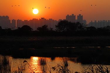 View across wetland towards skyscrapers at sunset, with Great Cormorant (Phalacrocorax carbo carbo sinensis) flock in flight, Tin Shui Wai, Mai Po, New Territories, Hong Kong, China, November  -  John Holmes/ FLPA