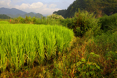 Rice (Oryza sativa) crop, growing in paddyfield, Luokeng, Guangdong Province, China, August  -  John Holmes/ FLPA