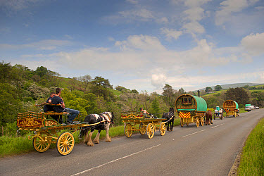 Horse, Irish Cob (Gypsy Pony), pulling traveller caravans, heading towards Appleby Horse Fair, along A between Sedbergh and Kirkby Stephen, Cumbria, England, June  -  Wayne Hutchinson/ FLPA