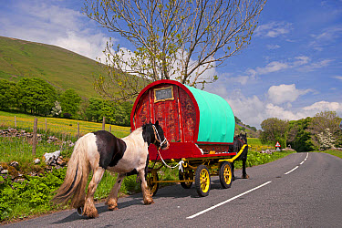 Horse, Irish Cob (Gypsy Pony), pulling traveller caravan, heading towards Appleby Horse Fair, along A between Sedbergh and Kirkby Stephen, Cumbria, England, June  -  Wayne Hutchinson/ FLPA