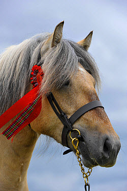 Horse, Highland Pony, adult, close-up of head, wearing halter with rosette at show, Scotland, June  -  Wayne Hutchinson/ FLPA