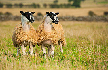 Domestic Sheep, North of England mule lambs, ready for sale, two standing in pasture, Cumbria, England, September  -  Wayne Hutchinson/ FLPA