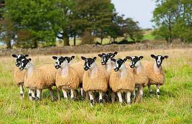 Domestic Sheep, North of England mule lambs, ready for sale, flock standing in pasture, Cumbria, England, September  -  Wayne Hutchinson/ FLPA