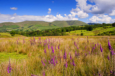 Common Foxglove (Digitalis purpurea) flowering, growing in upland pasture, with fells in background, Eastern Howgill Fells, near Sedbergh, Cumbria, England, June  -  Wayne Hutchinson/ FLPA