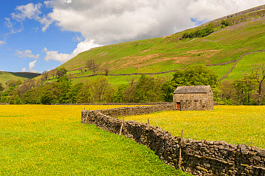 View of drystone walls, stone barn and traditional meadows with flowering buttercups, Muker, Swaledale, Yorkshire Dales National Park, North Yorkshire, England, May  -  Wayne Hutchinson/ FLPA