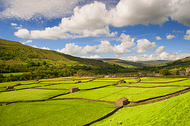 View of farmland with drystone walls, stone barns and sheep grazing in pasture, Gunnerside, Swaledale, Yorkshire Dales National Park, North Yorkshire, England, May  -  Wayne Hutchinson/ FLPA