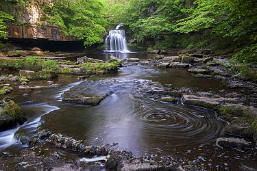 View of waterfall and river, Cauldron Falls, Walden Beck, River Ure, West Burton, Wensleydale, Yorkshire Dales National Park, North Yorkshire, England, May  -  Wayne Hutchinson/ FLPA