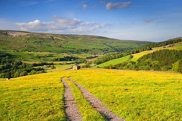 Farm track across upland hay meadow with flowering buttercups, Swaledale, Yorkshire Dales National Park, North Yorkshire, England, June  -  Wayne Hutchinson/ FLPA