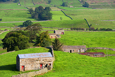 View of drystone walls and stone barns in farmland, Hawes, Wensleydale, Yorkshire Dales National Park, North Yorkshire, England, September  -  Wayne Hutchinson/ FLPA