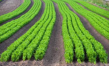 Carrot (Daucus carota) crop, rows growing in field, North Yorkshire, England, July  -  Wayne Hutchinson/ FLPA
