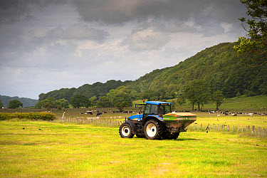 New Holland tractor with Amazone spreader, spreading fertiliser on meadow after taking crop of silage, with cattle herd in background, Lancashire, England, June  -  Wayne Hutchinson/ FLPA