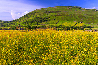 Traditional hay meadow with flowering buttercups, with Kisdon Hill in background, Swaledale, Yorkshire Dales National Park, North Yorkshire, England, June  -  Wayne Hutchinson/ FLPA