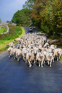 Sheep farming, flock being moved down narrow country road by shepherd on quadbike, Cumbria, England, September  -  Wayne Hutchinson/ FLPA