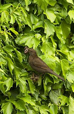 European Blackbird (Turdus merula) adult female, with earthworms in beak, perched at nestsite amongst ivy, England, May  -  Steve Young/ FLPA