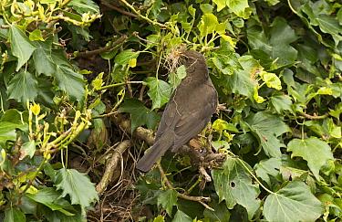 European Blackbird (Turdus merula) adult female, with nesting material in beak, at nestsite amongst ivy, England, May  -  Steve Young/ FLPA