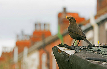 European Blackbird (Turdus merula) adult female, with nesting material in beak, in urban habitat, England, May  -  Steve Young/ FLPA
