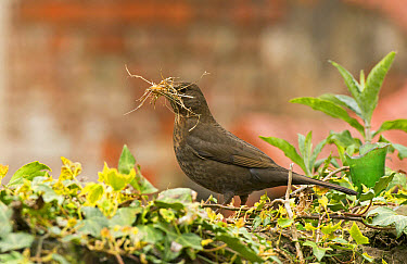 European Blackbird (Turdus merula) adult female, with nesting material in beak, England, May  -  Steve Young/ FLPA