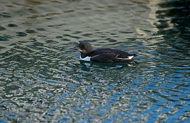 Brunnich's Guillemot (Uria lomvia) adult, non-breeding plumage, vagrant swimming, Isle of Portland, Dorset, England, December  -  Steve Young/ FLPA