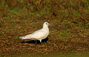 Ivory Gull (Pagophila eburnea) immature, first winter plumage, vagrant standing, Patrington Haven, East Yorkshire, England, December  -  Steve Young/ FLPA