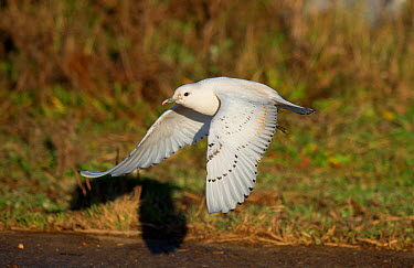 Ivory Gull (Pagophila eburnea) immature, first winter plumage, vagrant in flight, Patrington Haven, East Yorkshire, England, December  -  Steve Young/ FLPA
