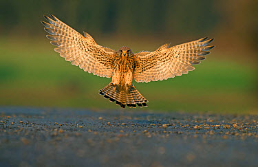 Common Kestrel (Falco tinnunculus) adult female, in flight, landing with wings spread and alulas raised, Lancashire, England, November  -  Steve Young/ FLPA