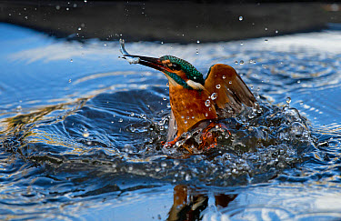 Common Kingfisher (Alcedo atthis) adult male, in flight, emerging from water with fish in beak after dive, Worcestershire, England, March  -  Steve Young/ FLPA