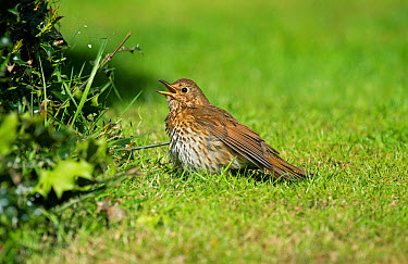 Song Thrush (Turdus philomelos) adult, sunning on grass, Merseyside, England, May  -  Steve Young/ FLPA