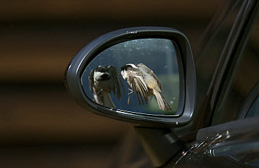 Coal Tit (Periparus ater) adult, in flight, attacking reflection in car wing mirror, England, April  -  Steve Young/ FLPA