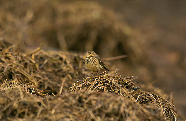 Buff-bellied Pipit (Anthus rubescens rubescens) 'American Pipit' nominate subspecies, adult, non-breeding plumage, vagrant standing on tidal wrack, Burton Marsh, Burton Mere Wetlands RSPB Reserve, Dee...  -  Steve Young/ FLPA
