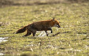European Red Fox (Vulpes vulpes) adult, caught on coastal marshland at high tide, Parkgate Marsh RSPB Reserve, Dee Estuary, Cheshire, England, February  -  Steve Young/ FLPA