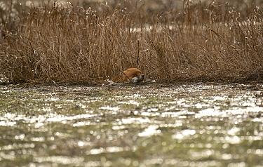 European Red Fox (Vulpes vulpes) adult, swimming, caught on coastal marshland at high tide, Parkgate Marsh RSPB Reserve, Dee Estuary, Cheshire, England, February  -  Steve Young/ FLPA
