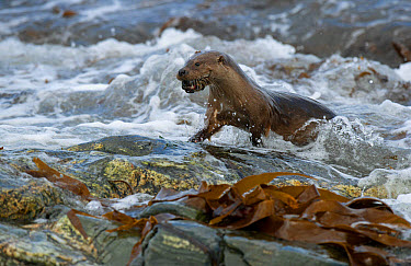 European Otter (Lutra lutra) adult, with crab prey in mouth, emerging from surf on rocky shore, Shetland Islands, Scotland, April  -  Steve Young/ FLPA