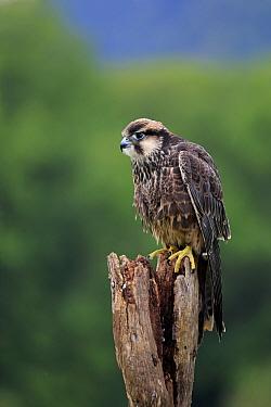 Lanner Falcon (Falco biarmicus) juvenile, perched on stump (captive)  -  Jurgen and Christine Sohns/ FLPA