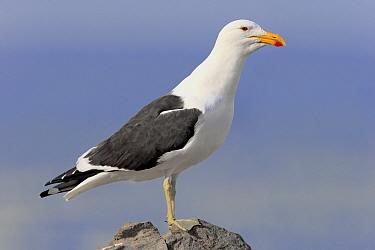 Cape Gull (Larus dominicanus vetula) adult, standing on rock, Stony Point, Betty's Bay, Western Cape, South Africa, June  -  Jurgen and Christine Sohns/ FLPA