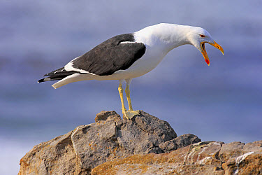 Cape Gull (Larus dominicanus vetula) adult, calling, standing on rock, Stony Point, Betty's Bay, Western Cape, South Africa, June  -  Jurgen and Christine Sohns/ FLPA