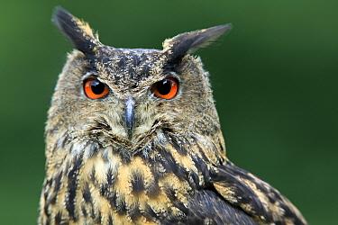Eurasian Eagle-owl (Bubo bubo) adult, close-up of head (captive)  -  Jurgen and Christine Sohns/ FLPA