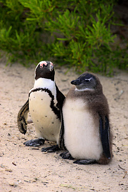 Jackass Penguin (Spheniscus demersus) adult with young, standing on beach, Boulders Beach, Simonstown, Western Cape, South Africa, June  -  Jurgen and Christine Sohns/ FLPA