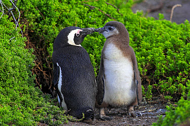 Jackass Penguin (Spheniscus demersus) adult with young, standing amongst vegetation on beach, Stony Point, Betty's Bay, Western Cape, South Africa, June  -  Jurgen and Christine Sohns/ FLPA