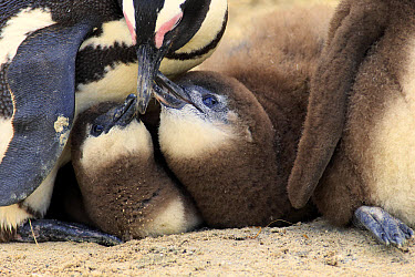 Jackass Penguin (Spheniscus demersus) adult with young, feeding, Boulders Beach, Simonstown, Western Cape, South Africa, June  -  Jurgen and Christine Sohns/ FLPA