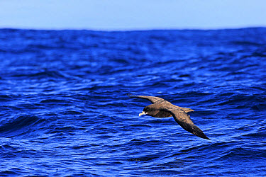 White-chinned Petrel (Procellaria aequinoctialis) adult, in flight low over sea, Cape of Good Hope, Western Cape, South Africa, June  -  Jurgen and Christine Sohns/ FLPA