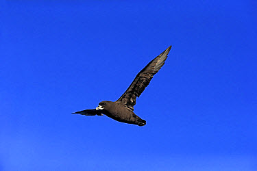 White-chinned Petrel (Procellaria aequinoctialis) adult, in flight, Cape of Good Hope, Western Cape, South Africa, June  -  Jurgen and Christine Sohns/ FLPA