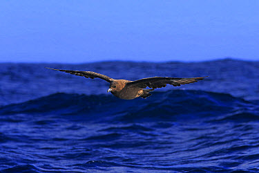 Subantarctic Skua (Stercorarius lonnbergi) adult, in flight low over sea, Cape of Good Hope, Western Cape, South Africa, June  -  Jurgen and Christine Sohns/ FLPA