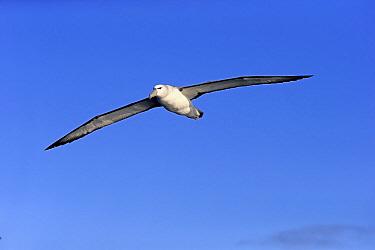 Shy Albatross (Thalassarche cauta) adult, in flight, Cape of Good Hope, Western Cape, South Africa, June  -  Jurgen and Christine Sohns/ FLPA